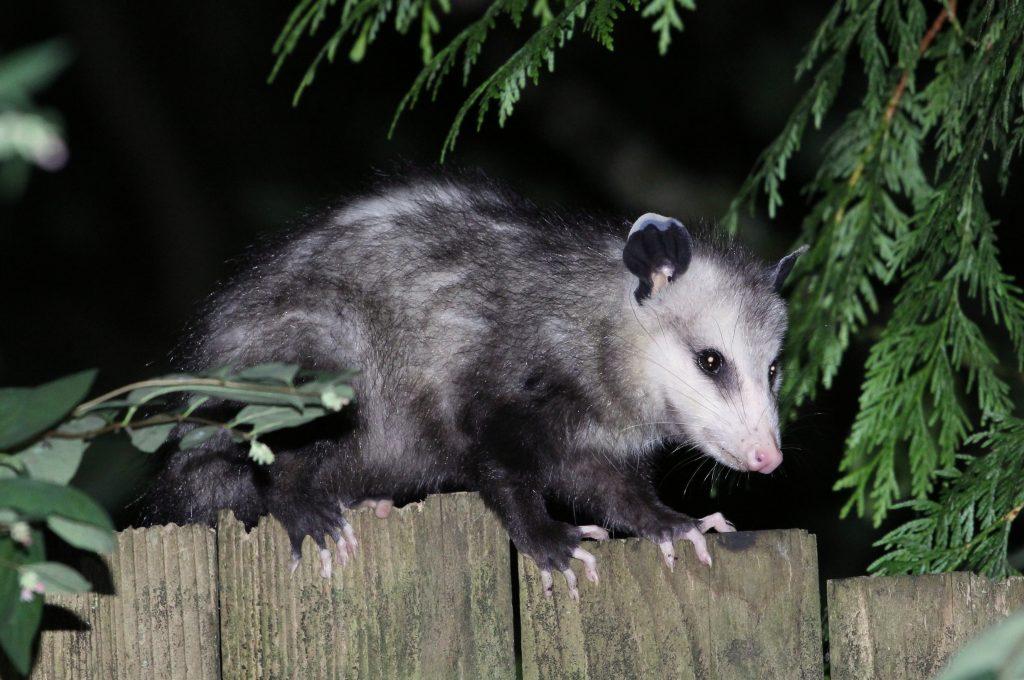 Opossum Control in Vacaville