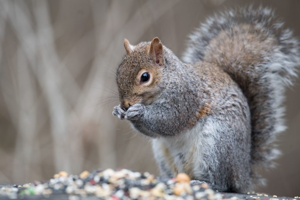 Squirrel Control in Vacaville